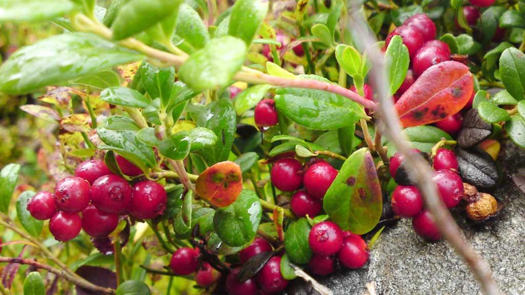 Ville urter, sopp og bær